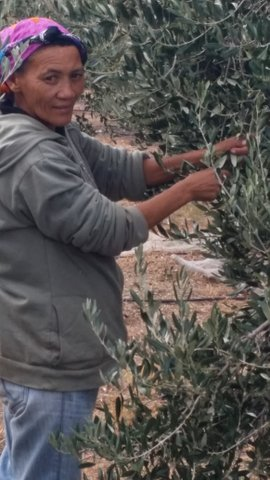 Olive picker at Kredouw Olive Estate April 2016